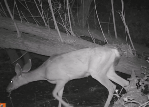 A deer passes by one of the critter cameras.